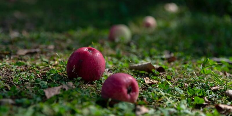 Apples and fallen leaves on grass