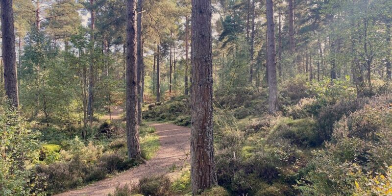 Path through pine tree wood with sun filtering through trees, at Devilla Forest, Fife