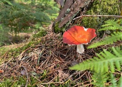 Red toadstool at foot of pine tree