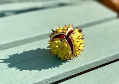 Autumn conker (horse chestnut) in the sun