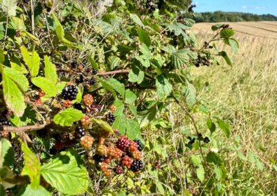 Scottish Autumn blackberries in harvested wheat field