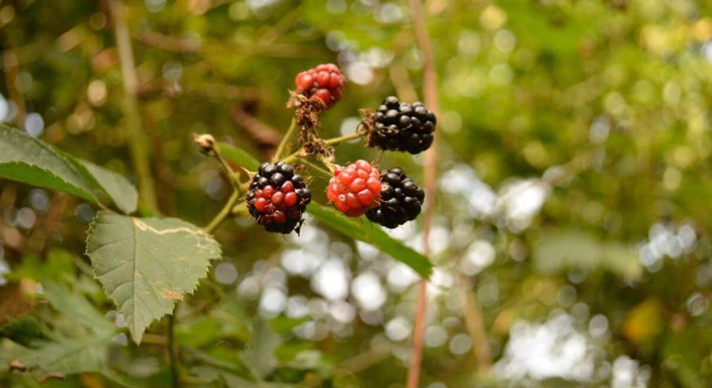 Go blackberry picking this September