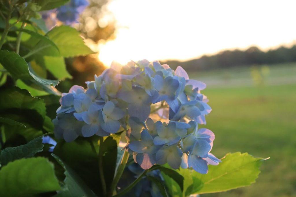 Hydrangeas in September